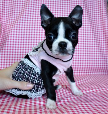 Teacup puppies for sale florida, Puppies For Sale Tampa, Puppies for ...
