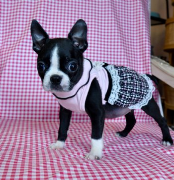 Tiny Toy Boston Terriers   Dog Breeds Picture