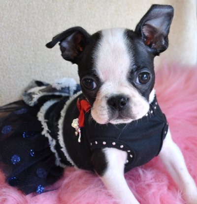 Teacup Boston Terrier Adults teacup puppies for sale florida, puppies ...