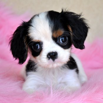 Tiny King Charles Spaniel Puppy Small Dark And Handsome