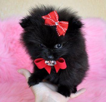 Tiny Teacup Black Pomeranian Princess Wow She Is Amazing