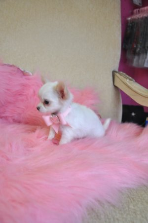 View Full Size | More http m5x eu long haired white teacup chihuahua ...