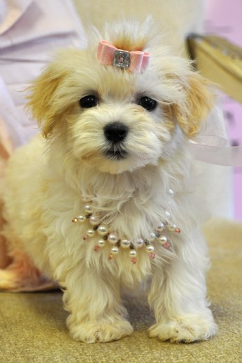 toy teacup havanese image search results