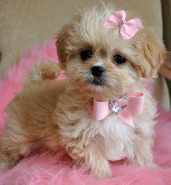 Tiny Peekapoo Puppy Adorable Golden Princess Sold Moving
