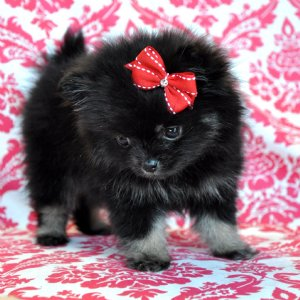 pomeranian georgia teacup pomeranian princess sold to a fabulous mommy in 4101