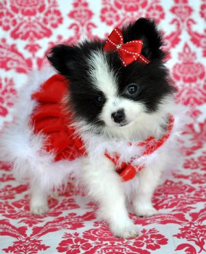 party pomeranian puppies for sale teacup pomeranian sold found a loving home in ocala 475