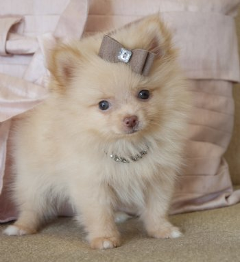 chihuahua pomeranian mix full grown teacup pomeranian prince 14 oz at 8 weeks absolutely 9038